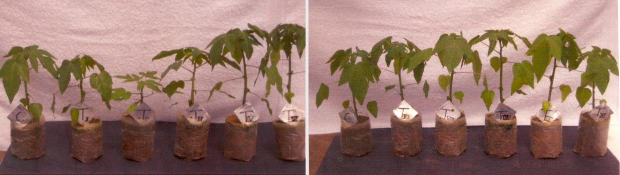 Short Communication - Growth of Papaya grown in pot culture of different soil compositions