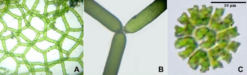 A-B, Hydrodictyon reticulatum (L.) Lagerheim; C, Pediastrum tetras var. tetraodon (Corda) Hansgirg