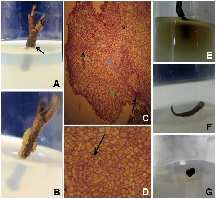 Callus initiation, in vitro sprouting of different explants, histological section and media discoloration of Heritiera fomes: A, Callus initiation site after 10 days of explants inoculation using NAA and BAP combination of H. fomes; B, Yellow and light brown callus formation after 2 weeks of inoculation of explants of H. fomes; C, General view of 3 week old protuberance produced at the proximal part of the explant (Vetical section), VC- Large vaculated cells, Black arrow indicates calli at inner region containing both small meristematic cells with highly-stained nucleus in mitotic cells zone (MCZ), Green arrow indicates embyogenic cells where red arrow indicates non embryogenic cells; D, Close view of embryogenic cells on callus where black arrow shows the embryogenic cells; E, Media discoloration caused by secretion of tannin or phenolic compounds after five days of inoculation; F, In vitro sprouting of leaf using NAA and BAP in combination; G, Deep brown small callus formation in combination of 2, 4-D and BAP.