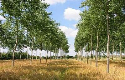 Wheat based agro-forestry system.