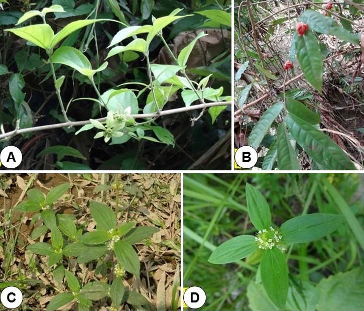A, Symphorema involucratum; B, Miliusa balansae; C & D, Spermacoce ocymoides.