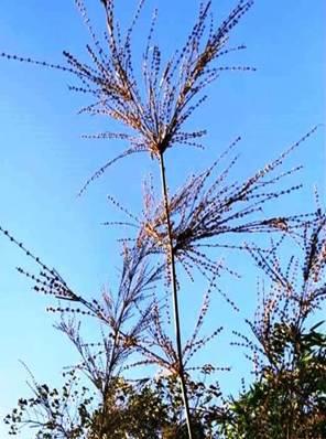 Individual flowering culm of Dendrocalamus longispathus.