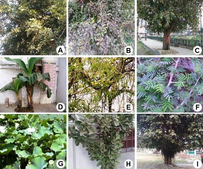 Some sacred plants: <b>A,</b> <i>Aegle marmelos</i> (L.) Correa; <b>B,</b> <i>Ocimum tenuiflorum</i> L.; <b>C,</b> <i>Ficus religiosa</i> L.; <b>D,</b> <i>Musa balbisiana</i> Colla; <b>E,</b> <i>Phyllanthus emblica</i> L.; <b>F,</b> <i>Prosopis cineraria</i> (L.) Druc; <b>G,</b> <i>Nelumbo nucifera</i> Gaertn.; <b>H,</b> <i>Calotropis gigantea</i> (L.) Dryand.; <b>I,</b> <i>Ficus benghalensis</i> L.