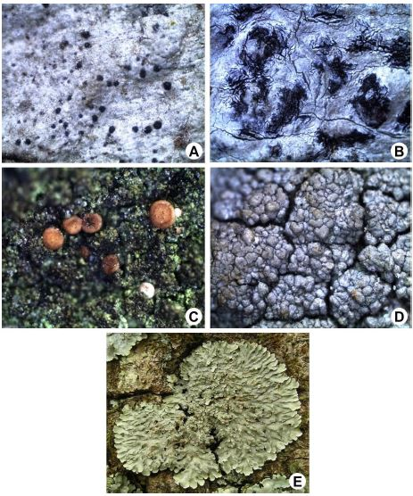 Lichen thallus of different species: A, Anisomeridium subnexum (Nyl.) Zahlbr.; B, Arthothelium chiodectoides (Nyl.) Zahlbr.; C, Bacidia medialis (Tuck.) Zahlbr.; D, Pertusaria granulata (Ach.) Müll. Arg.; E, Pyxine sorediata (Ach.) Mont.